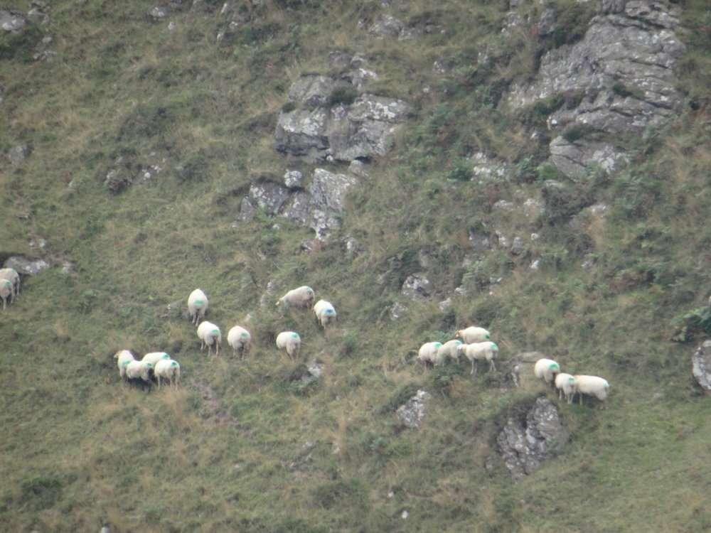 56 Sans berger pour les surveiller les brebis se hasardent sur des pentes vertigineuses.