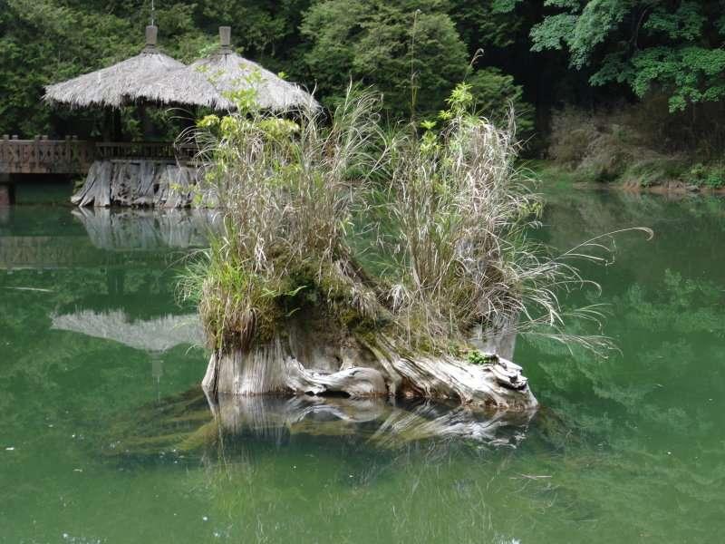Zone récréative de la forêt d'Alishan, souches de Cèdres rouges de Taïwan dans une plantation à Sugi, Japon - L'arbre le plus à gauche est équipé d'une natte de protection de l'écorce