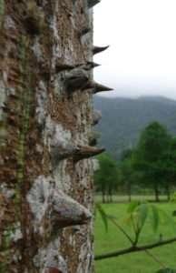 """Arbre au tronc épineux (lac Liyu), peut être un kapokier (ou """"fromager"""", Ceiba pentandra)"""