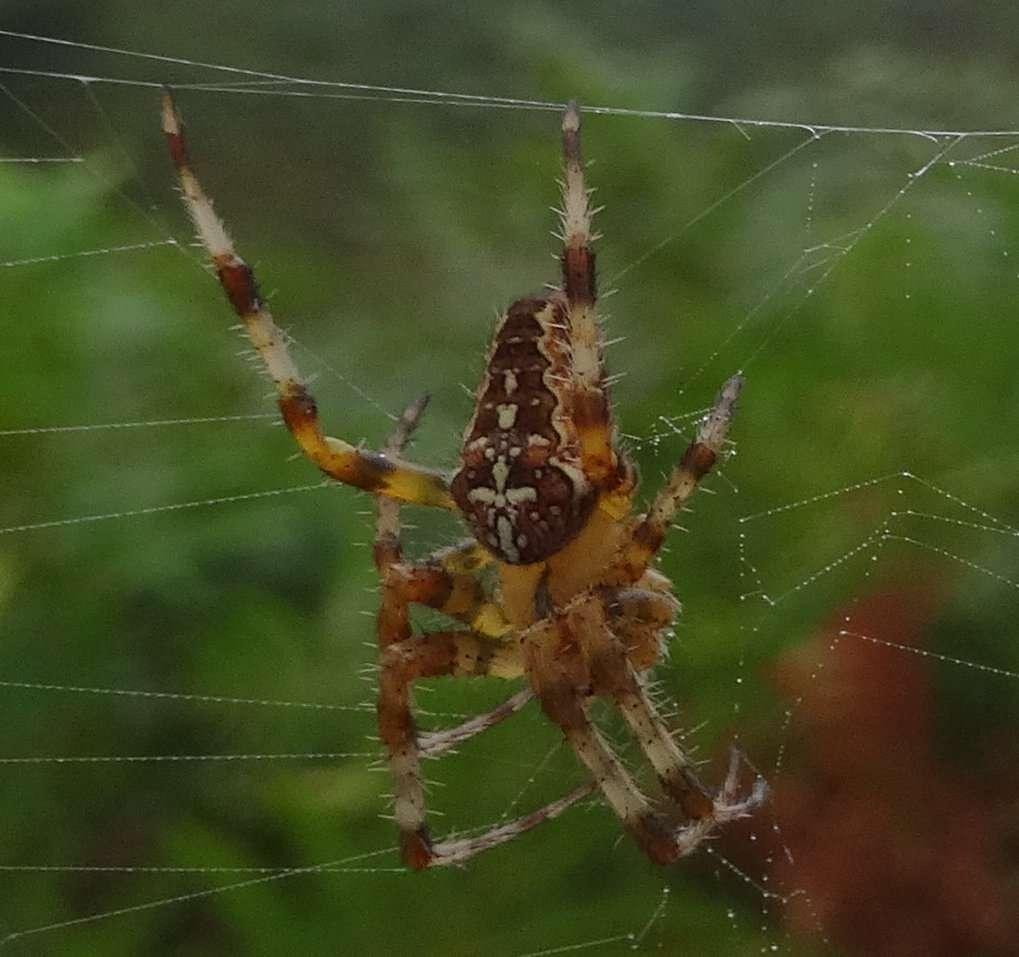 Epeire diadème (Araneus diadematus) plus connue sous le nom « d'araignée porte croix » en référence à la croix blanche dessinée sur son abdomen brun