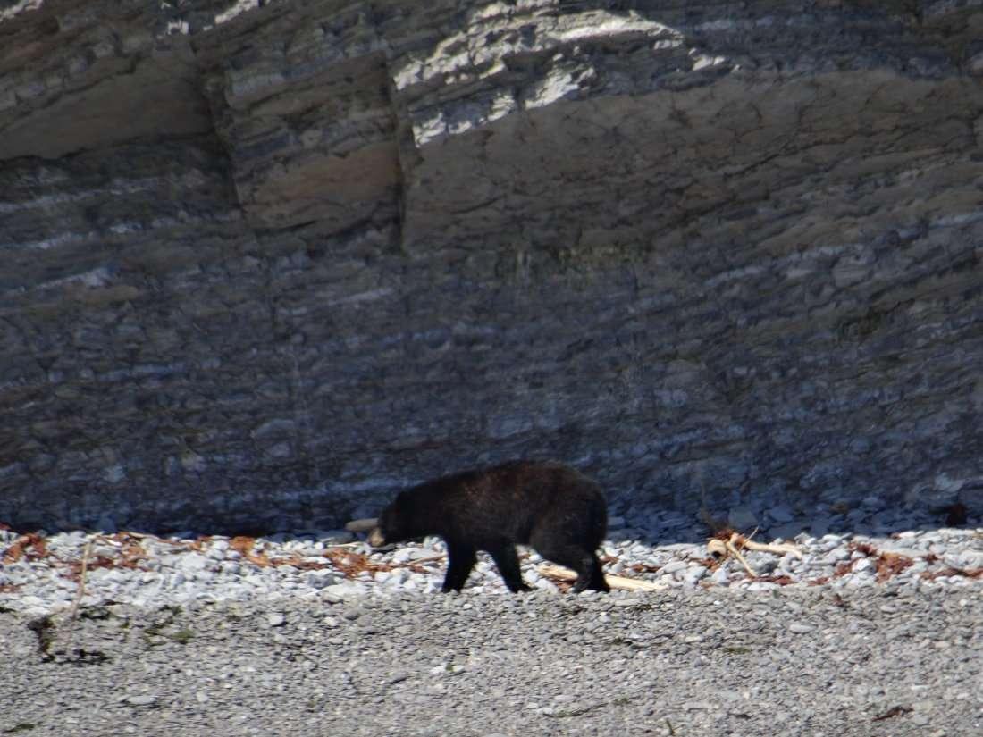 6 Un ours noir sur une plage inaccessible aux humains à laplomb dune falaise où nichent des myriades doiseaux de mer