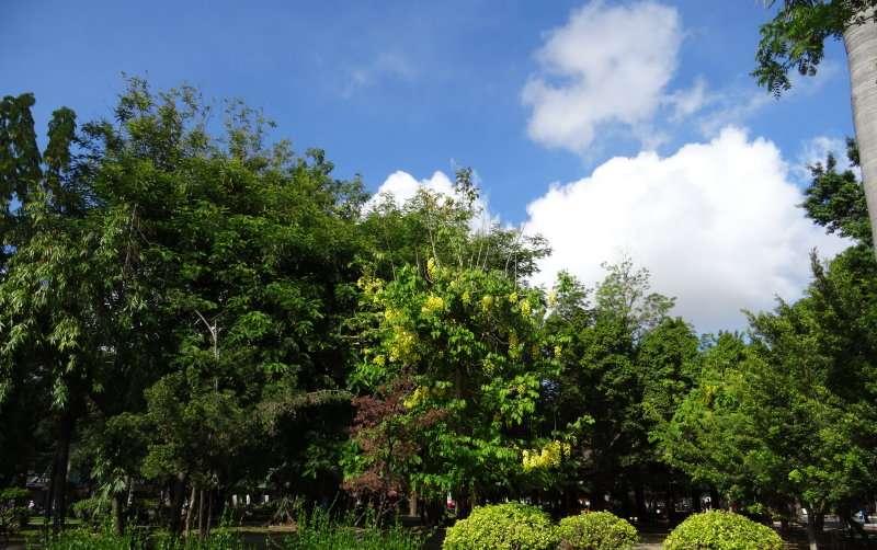 Parmi les grands arbres dont les houppiers s'enchevêtrent, des grappes fournies de fleurs jaunes à l'allure de cytise tranchent sur fond de larges feuilles vert clair au port tombant.