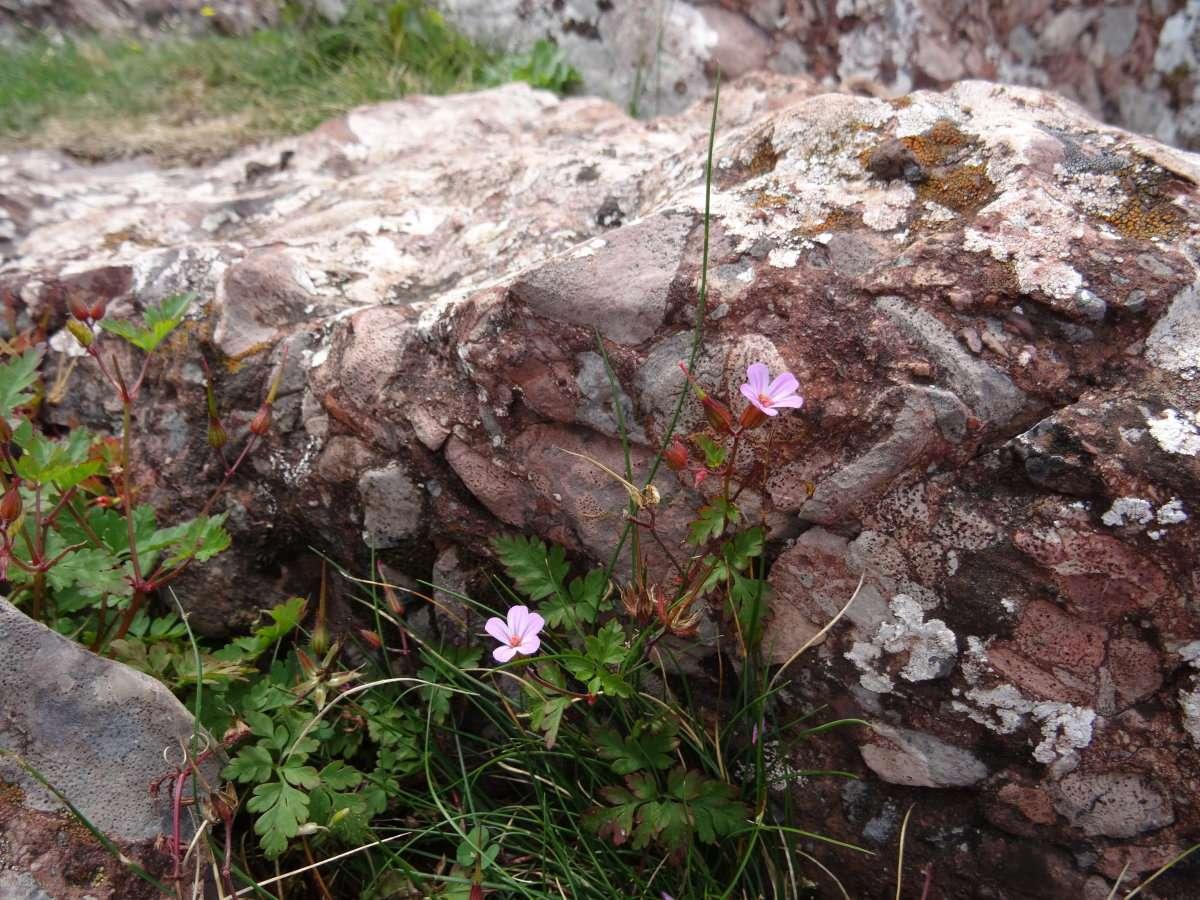 62 Géranium Herbe à Robert Geranium robertianum