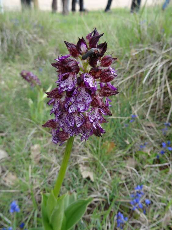 7 Orchis pourpre