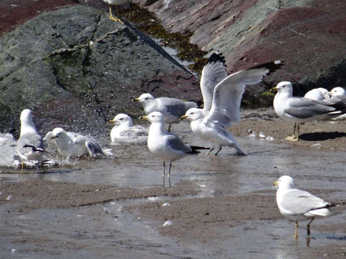 7 Pourquoi les goélands à bec cerclé se baignent ils dans les flaques alors quils passent leur temps dans leau à pêcher
