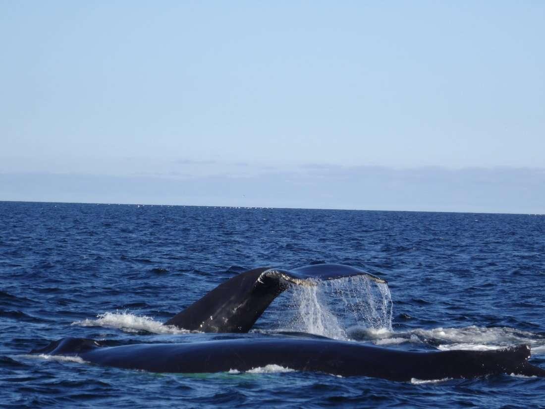 8 Petite troupe de baleines à bosse lorsquelles plongent la queue sort de leau dans un mouvement dune grâce indescriptible deuxième sortie sur un zodiac plus grand et très puissant
