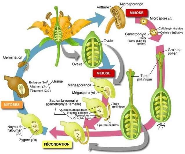 angiospermes reproduction