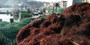 le prix au kilo mouille de l algue rouge s est envole ces dernieres annees passant de 37 centimes en 2014 a 90 centimes en 2016