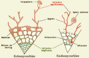 mycorhize 1