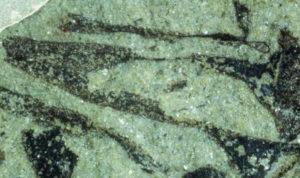 Cooksonia pertoni