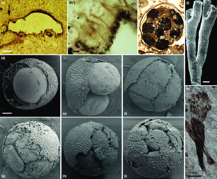 Representative early Ediacaran 635 580 Ma fossils that have been interpreted as