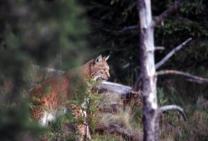 lynx alpes du sud