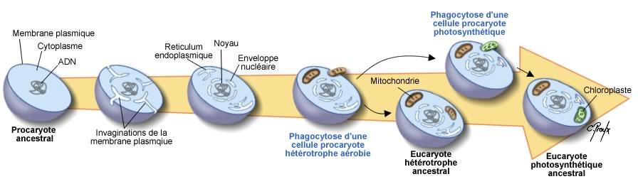 Evolution Eucaryotes